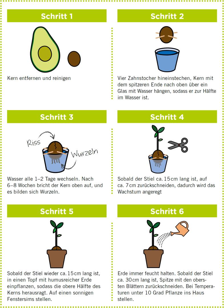 avocado anpflanzen betty bossi. Black Bedroom Furniture Sets. Home Design Ideas